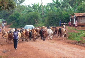 Ugandan Cattle Herd