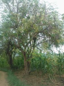 Moringa; the Miracle Tree